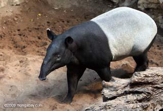 Image Gallery malaysian animals